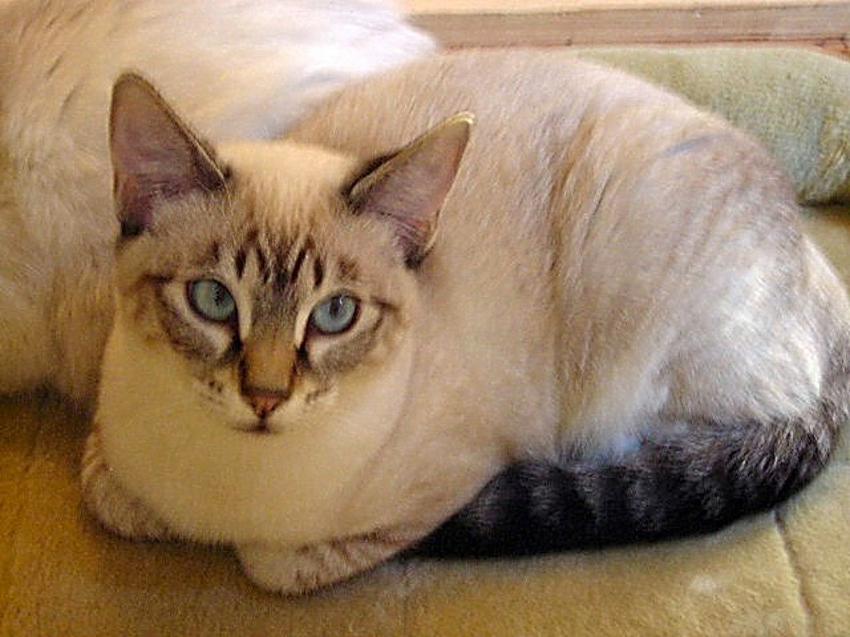 Lynxie Pretty cats, Cats and kittens, Balinese cat