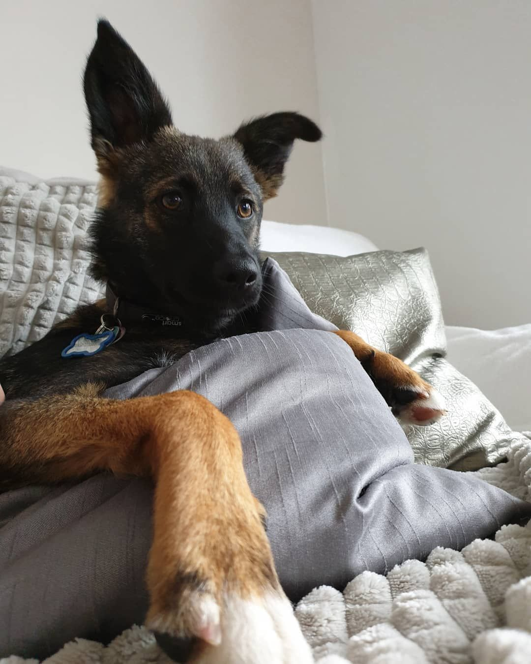 Sunday Chilling Minimissdakota Gsdmix Gsdpuppies Photooftheday Pictureoftheday Dogstagram Dogs Of Instagram Doggo Dogoftheday Dogso Animals Dogs