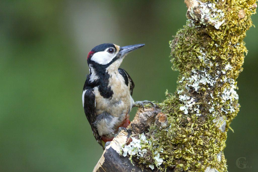 Pica pau malhado Grande I Great spotted woodpecker I Dendrocopos major Carapita, Ourém