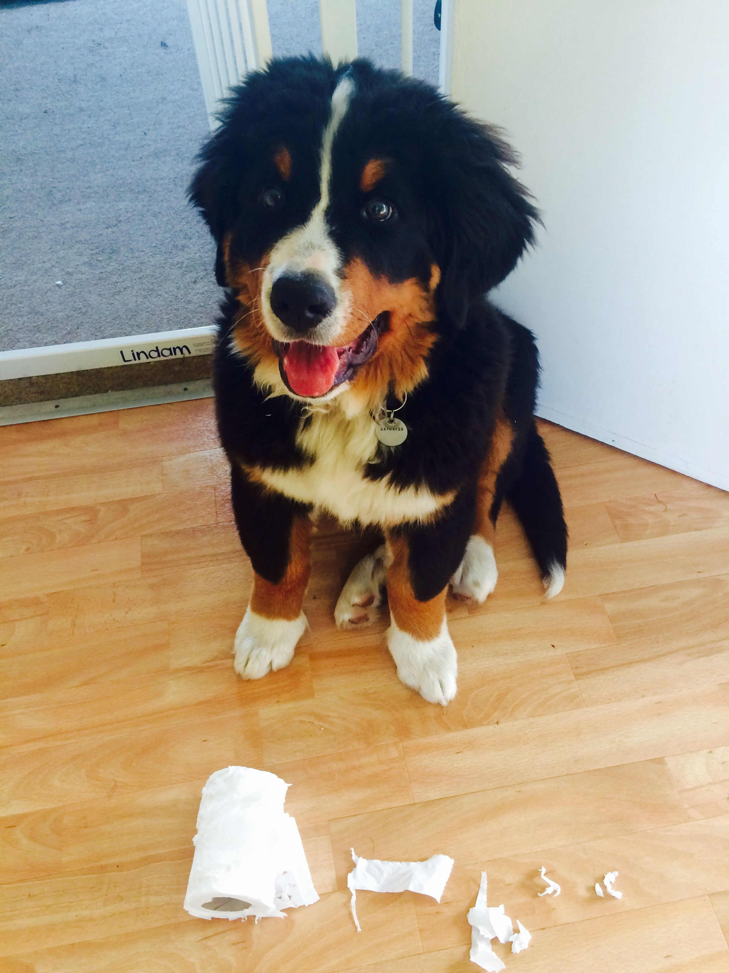 And I Brought This One For You Cute Dogs Bernese Mountain Dog Baby Animals