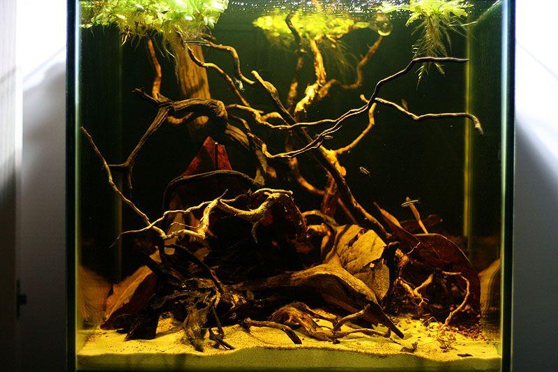Apistogramma sp. biotope aquarium