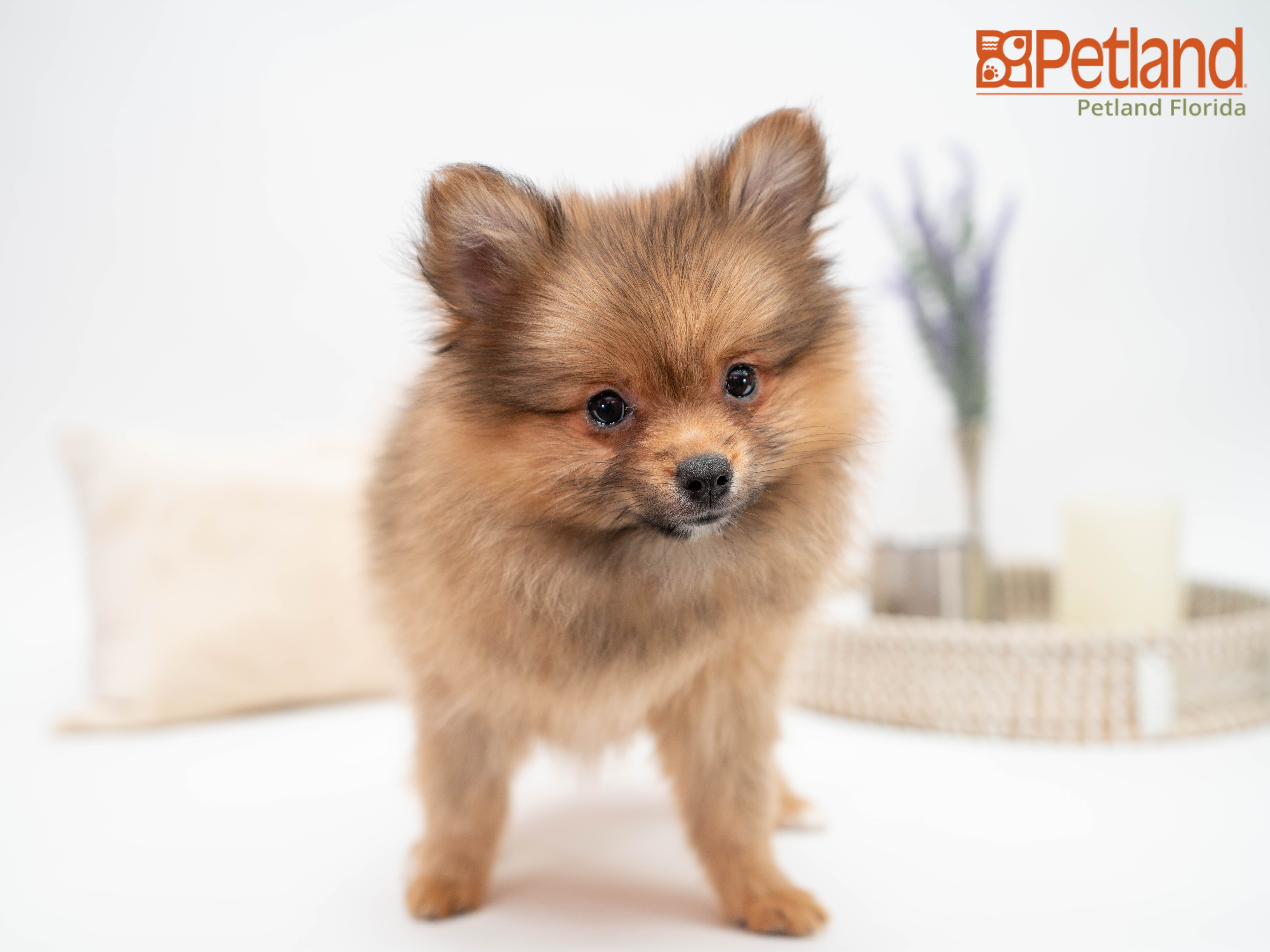 Puppies For Sale Pomeranian puppy for sale, Puppies