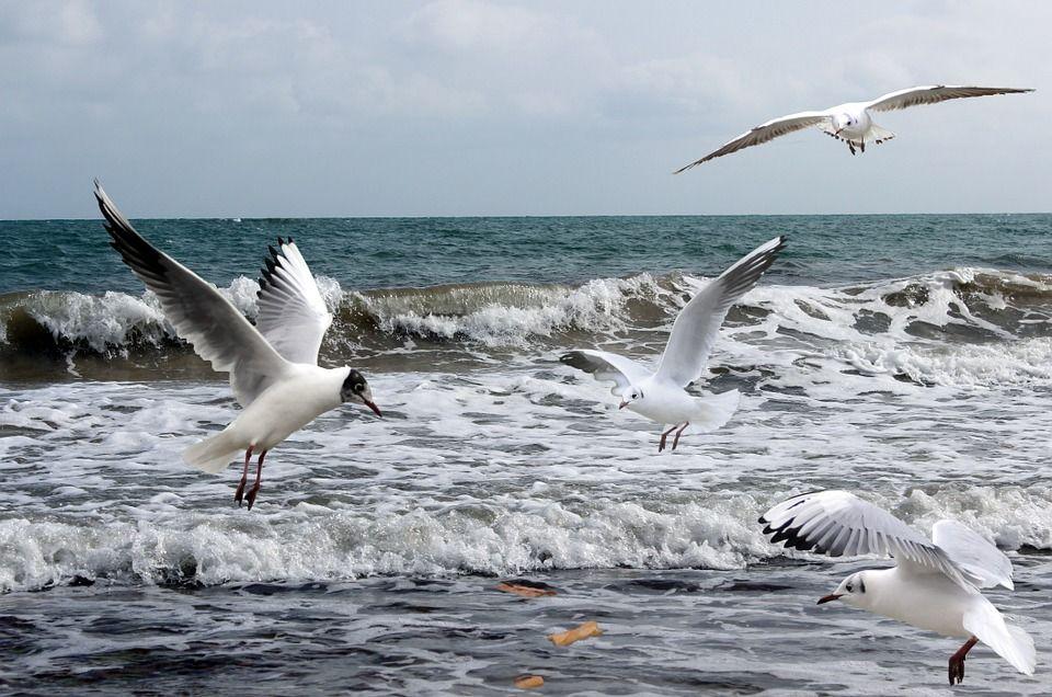 Free image on pixabay seagulls sea ocean meals bird