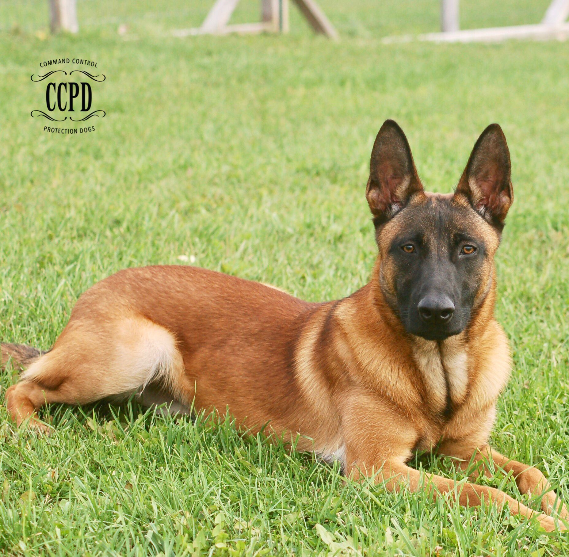 Fully Trained Belgian Malinois For Sale For More Information Contact Us In 2020 Protection Dog Training Personal Protection Dog Guard Dogs For Sale
