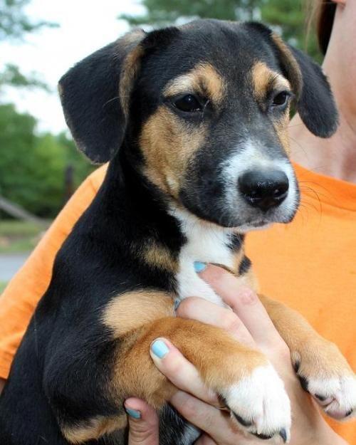 Adopt Woody On Doggies Basset Hound Beagle Mix Basset Hound Mix