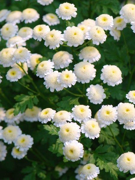 Perennials Product Categories Flowers Perennials White Perennial Flowers Chrysanthemum