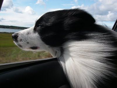Resultado de imagen para border collie head out of the car