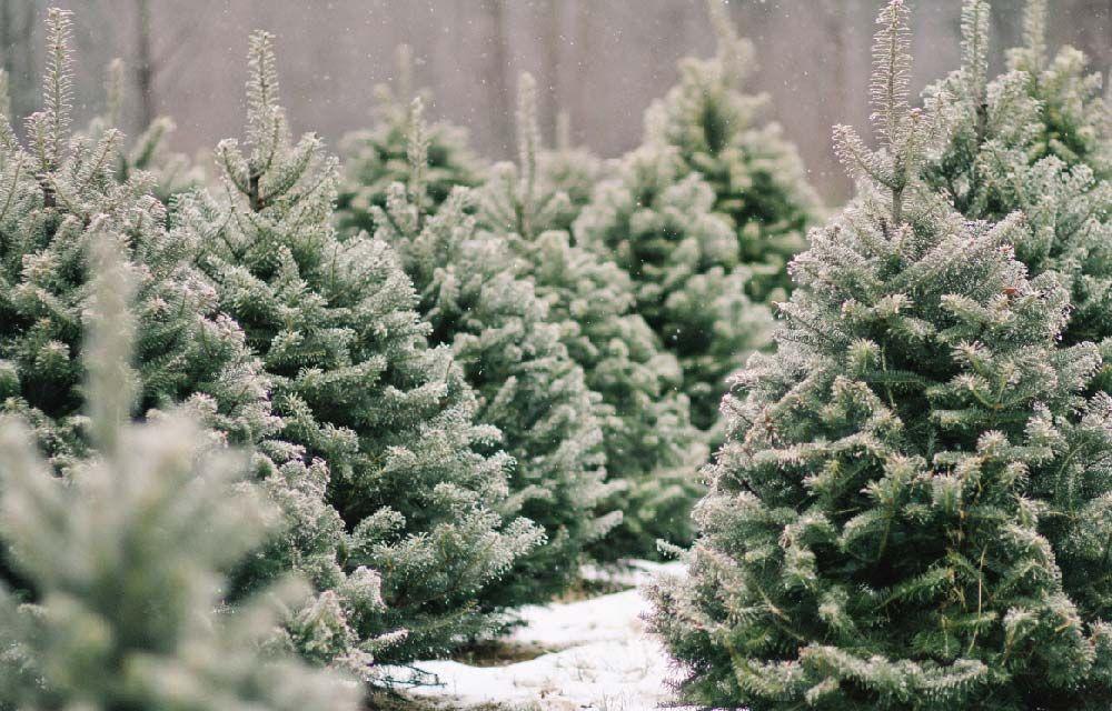 Albero Di Natale Vero.Pin Su Blog Dettagli Home Decor