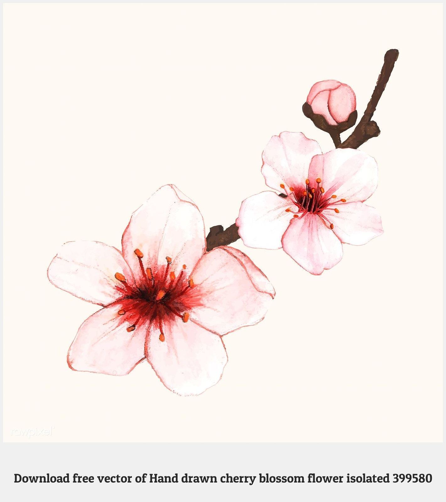 Cherry Blossom Tattoos 99329 Hand Drawn Cherry Blossom Flower Isolated Free Image By Rawpixel Com Aum Blossom Tree Tattoo Cherry Blossom Art Tree Sketches