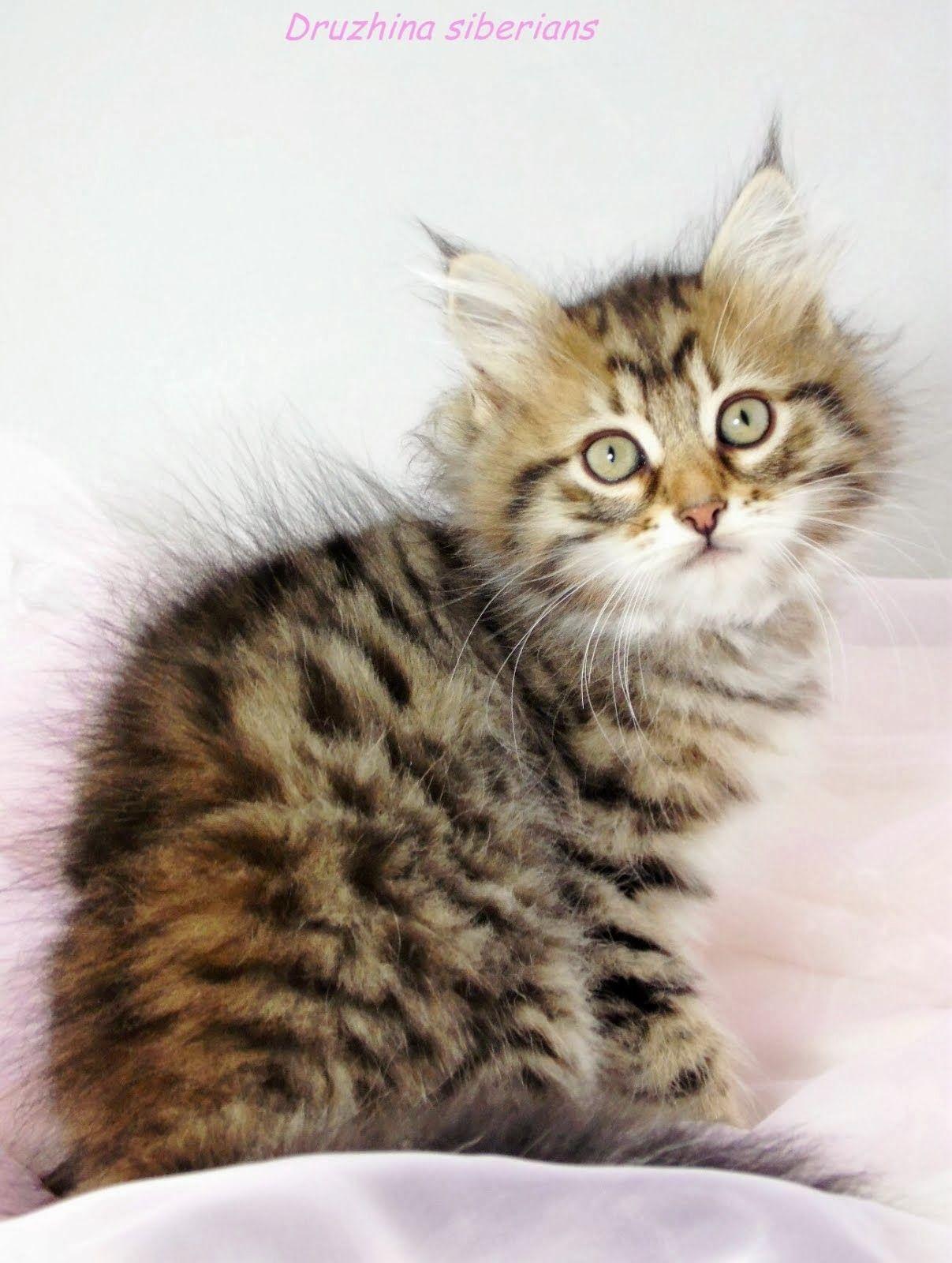 Druzhina Siberians Orange Tabby Cats Tabby Cat Cats