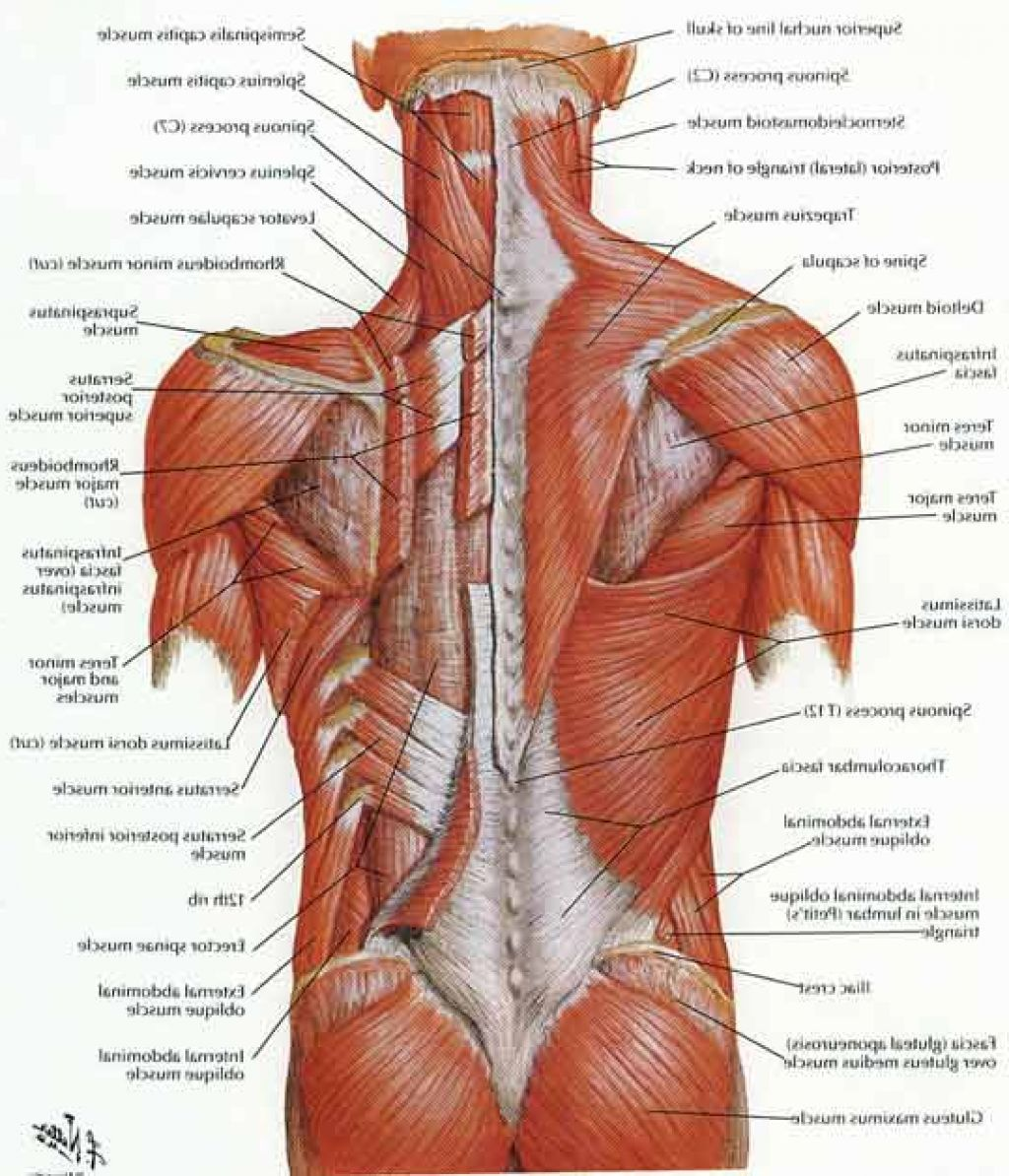 Lower Back Muscles | muscles | Pinterest