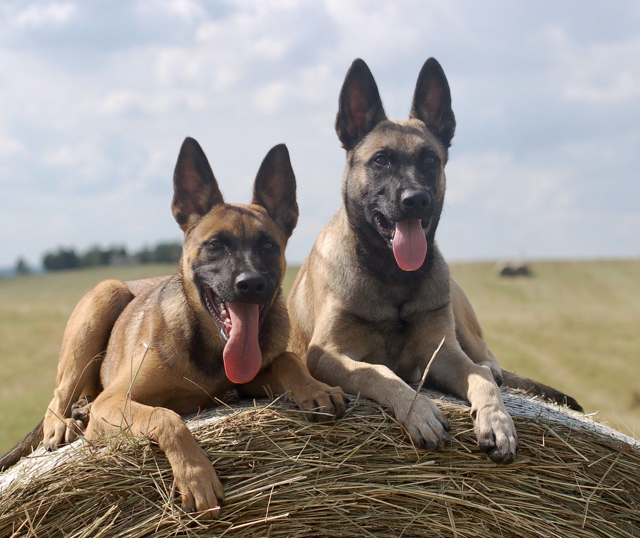 Belgian Malinois Protection Dogs Fully Trained Dog For Sale