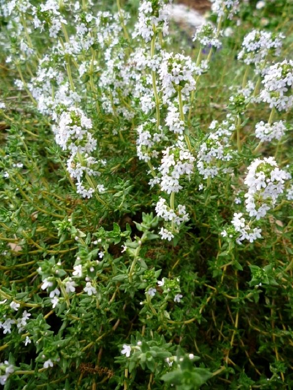 Photos Of Perennial Thyme Herb Plant In Bloom In Our Houston Garden   News    Bubblews