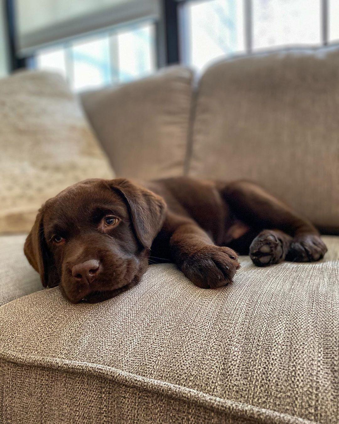 Pin By Ellen Rossmiller On Doggies In 2020 Labrador Retriever Labrador Lab Dogs