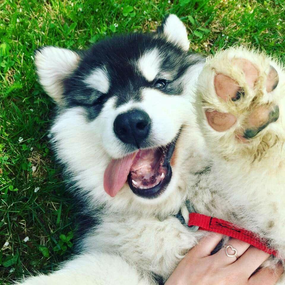Kaikoura The Siberian Husky Puppies