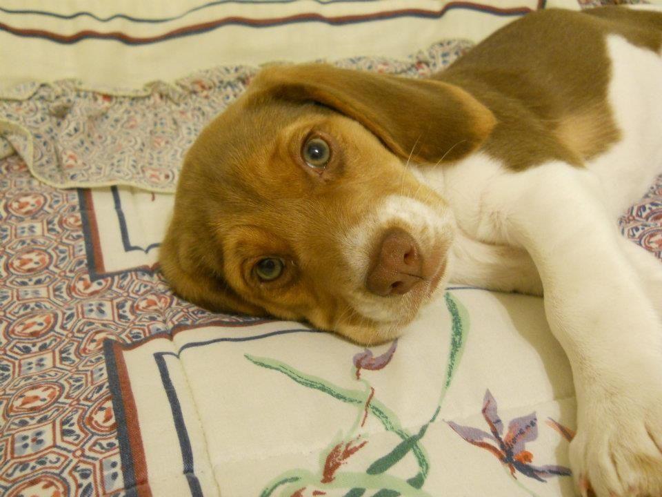 My Chocolate Beagle Puppy Beagle Puppy Baby Beagle Cute Dogs