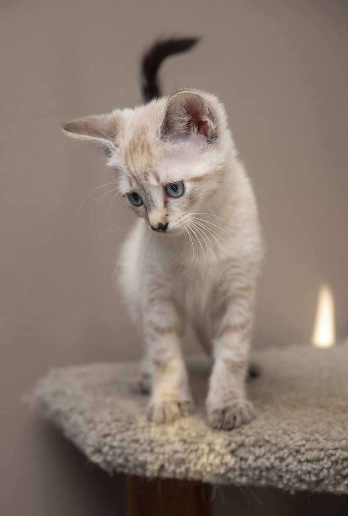 Adopt Shilo On Kittens Cutest Animals Pets Pets