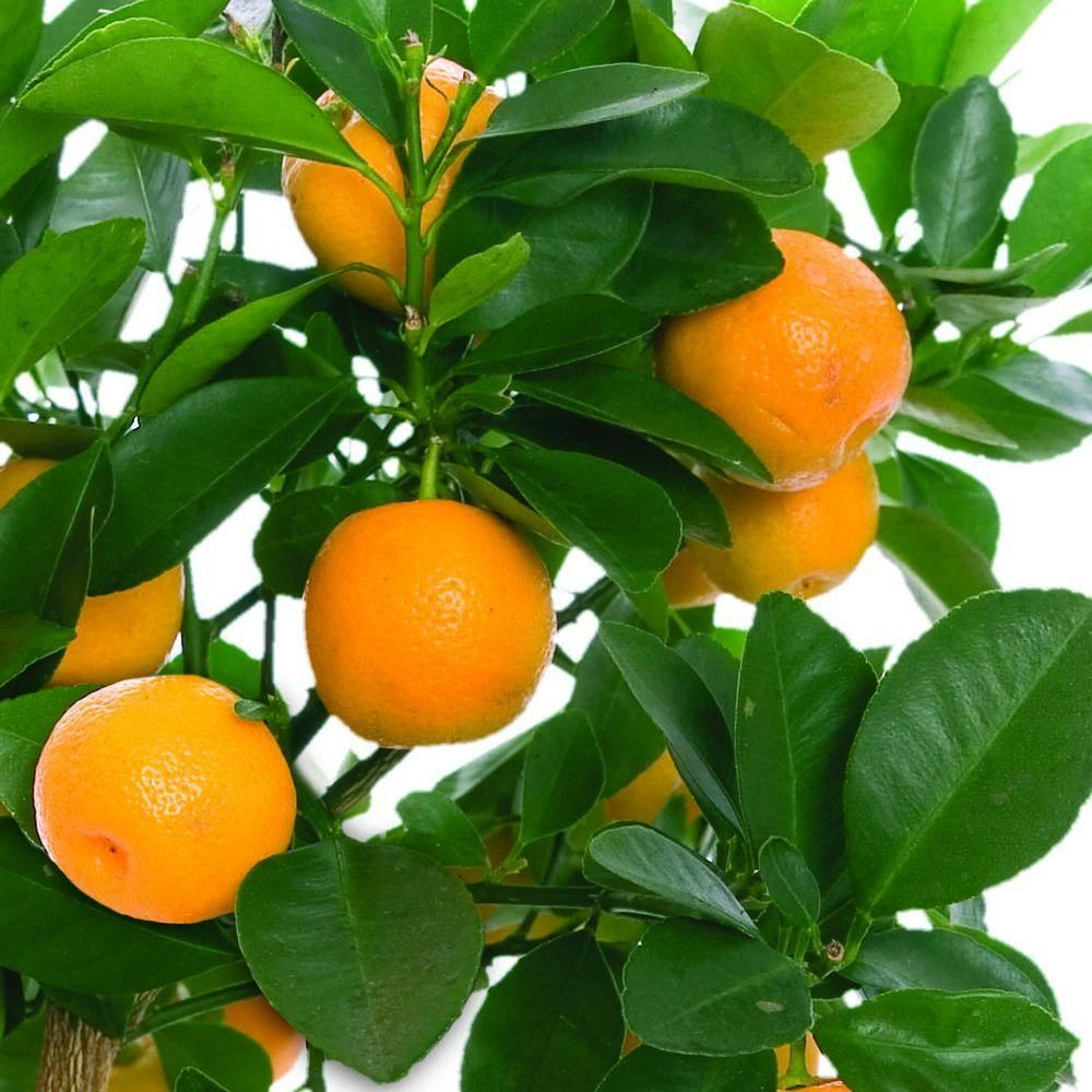 Year Old Larger Orange Tree in Nursery Pot  Orange trees