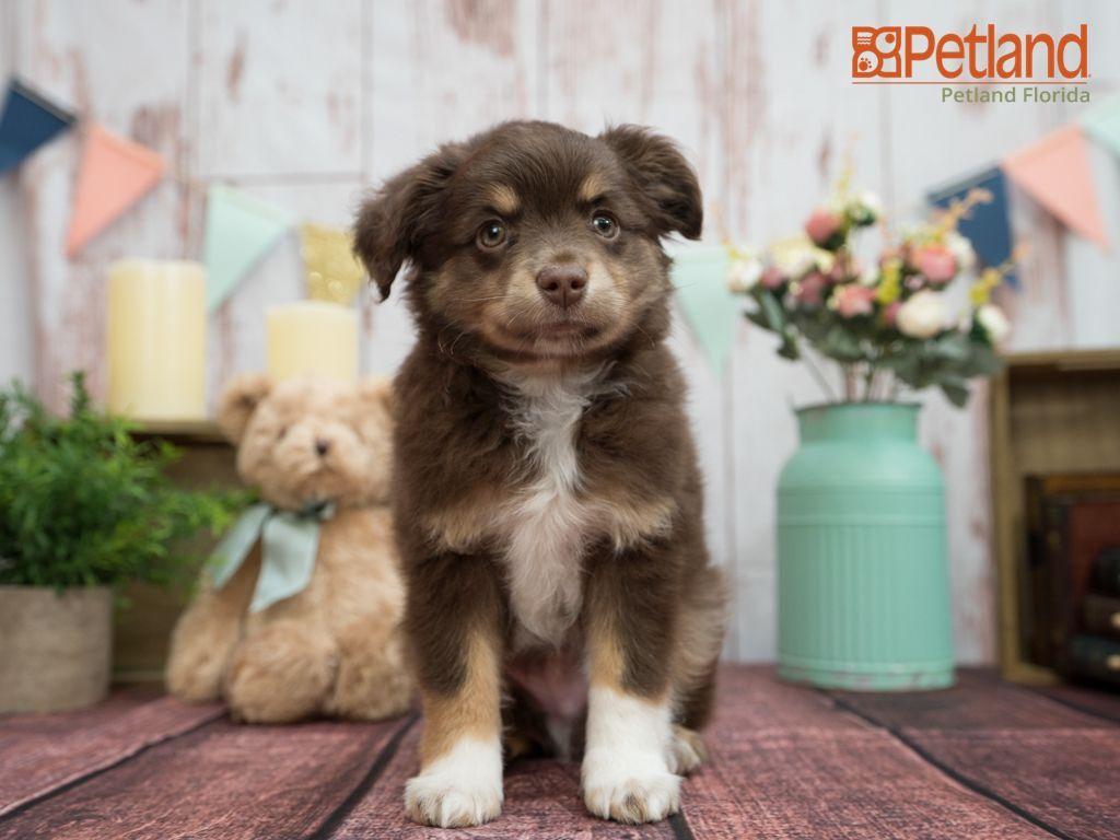 Petland florida has mini australian shepherd puppies for