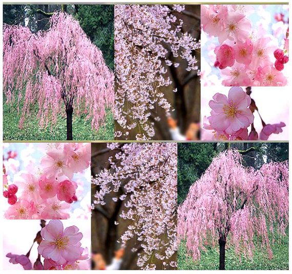 Pin By Elena Caidas On Gardenscapes Weeping Cherry Tree Flowering Trees Tree Seeds