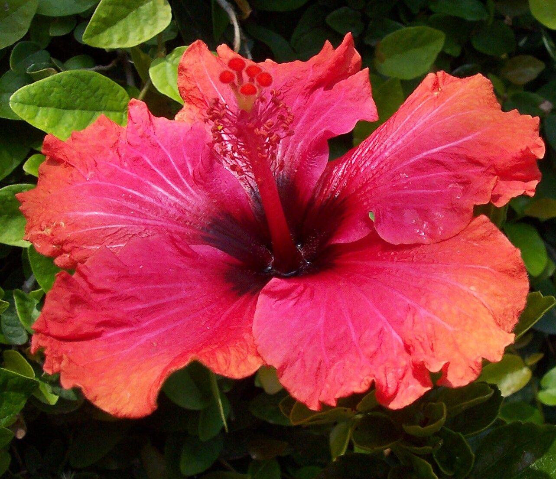 Orange Pink Hibiscus 4 Hibiscus Flower Drawing Hibiscus Hibiscus Rosa Sinensis
