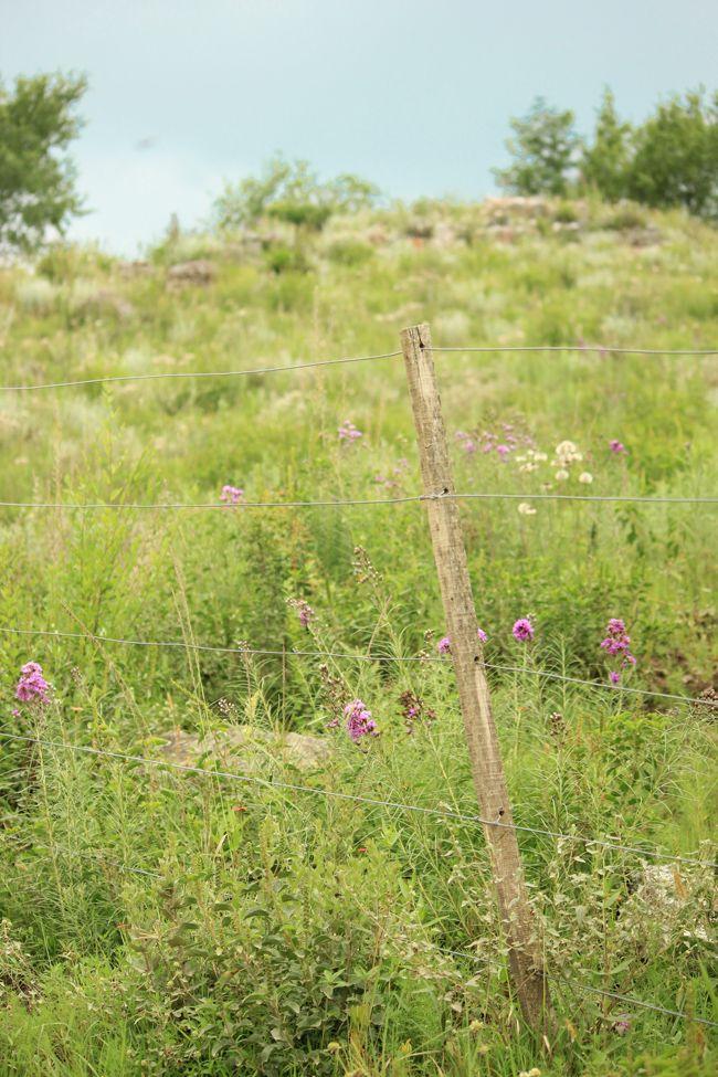 mi casita en el bosque ♥ Vernonia nudiflora