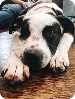 Pictures Of Emmy A American Bulldog Border Collie Mix For Adoption