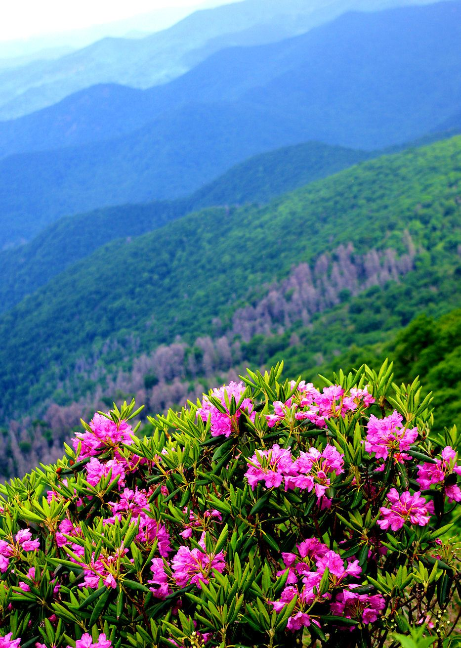 Rhododendron blooming along the Blue Ridge Parkway in North Carolina ...