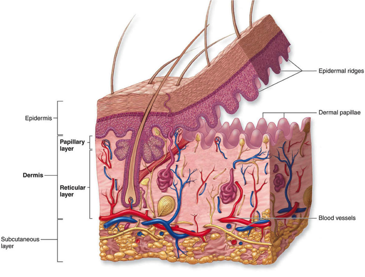 The Uppermost Region Of The Dermis Consists Of Finger Like