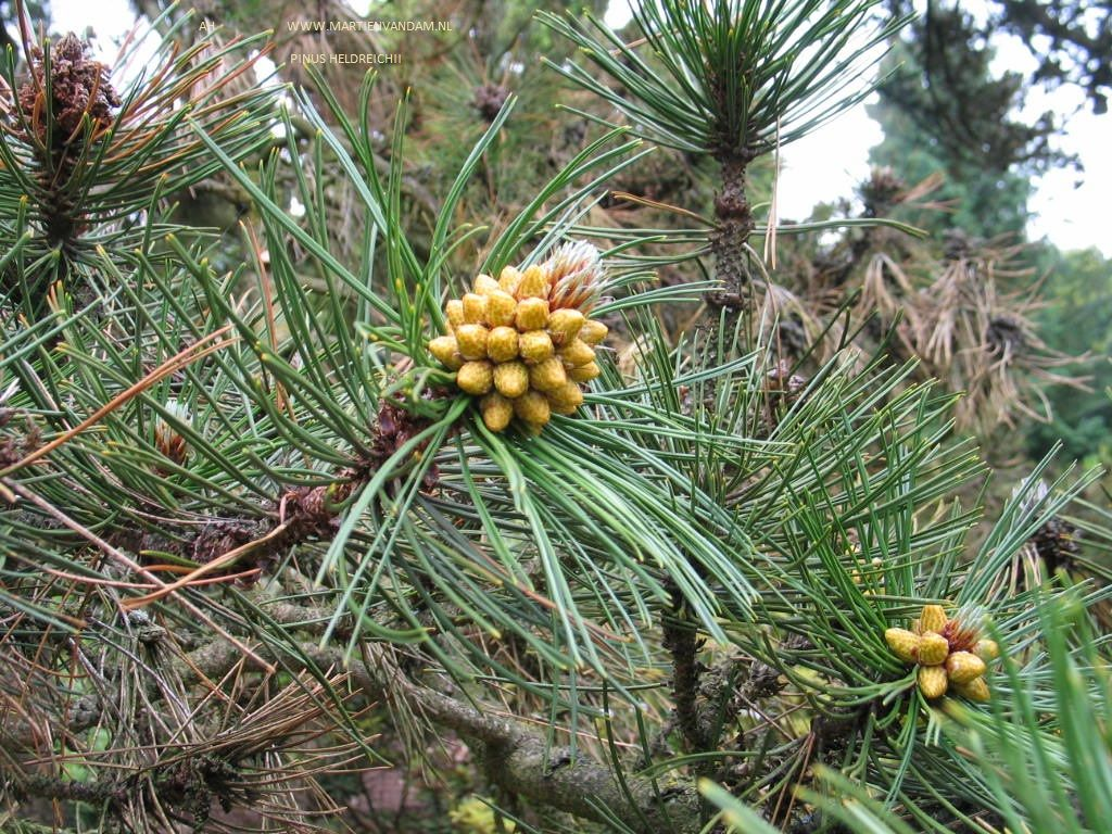 Grote Pinus