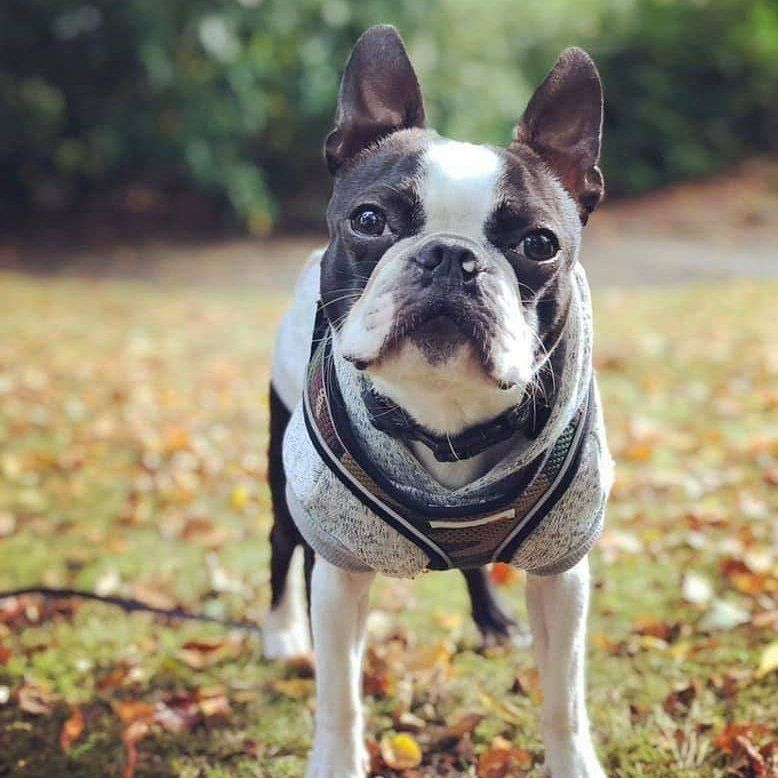 Boston Terrier Dogs On Boston Terrier Boston Terrier Dog Pet
