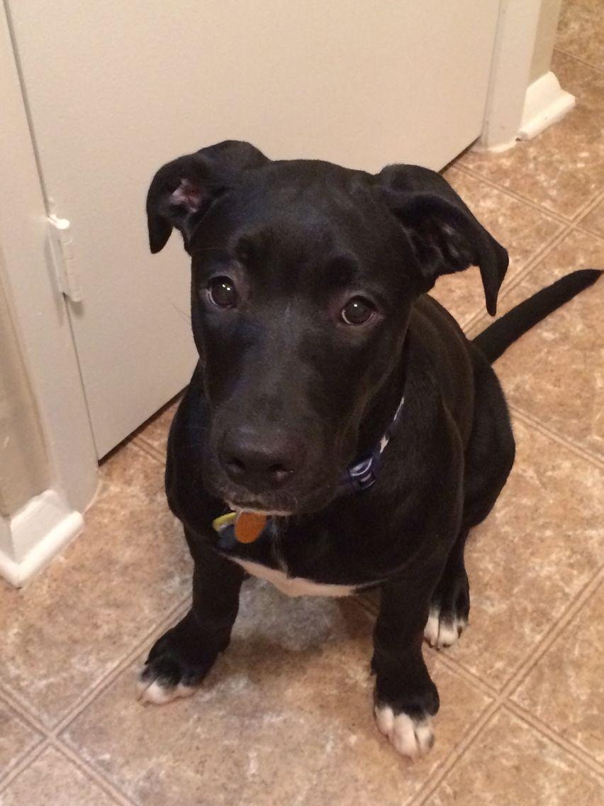 Labrador Love Black Lab Mix Dog Love Labrador
