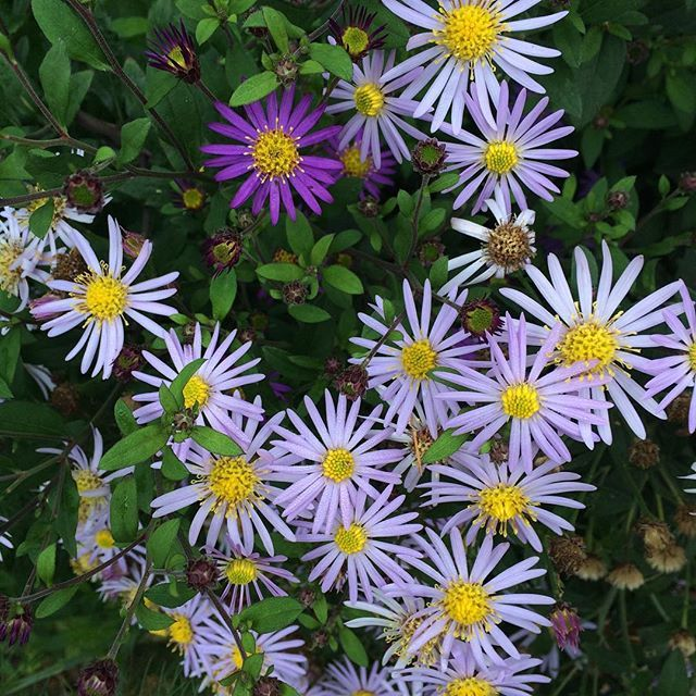 Asters, stalwarts of Autumn borders. #gardens #asters #autumn