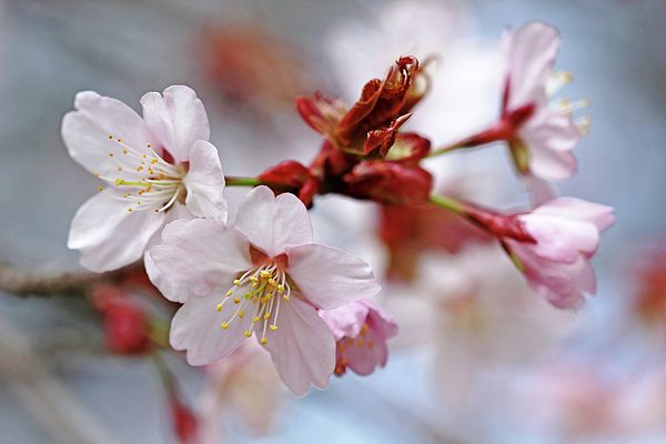 Pin By Lina Mary On Female Artist Of This Century Blossom Cherry Blossom Spring Blossom