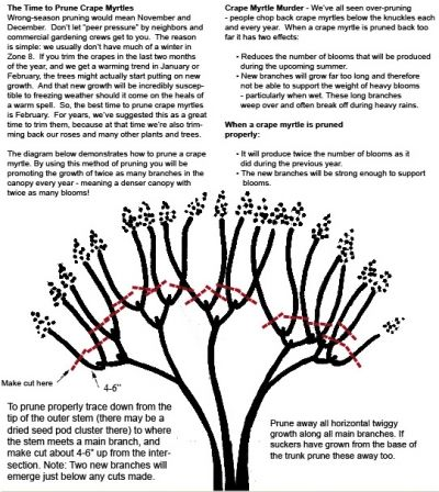 Crape Myrtle Pruning Crape Myrtle Bonsai Tree Care Prune