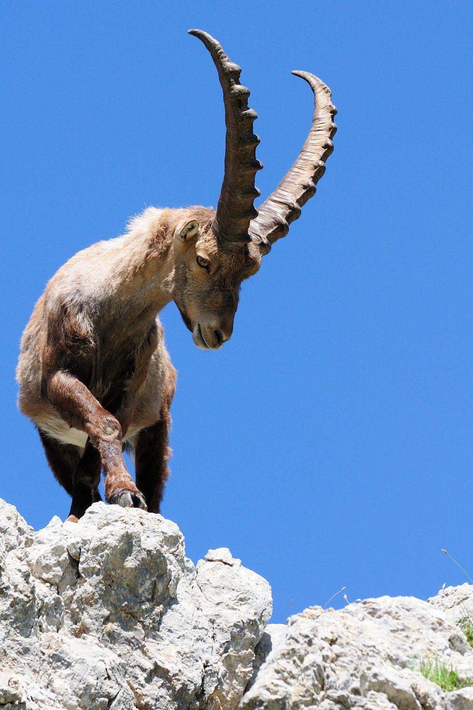 Bouquetin des Alpes (Capra ibex)   Ibex goat, Alpine ibex, Animals with  horns