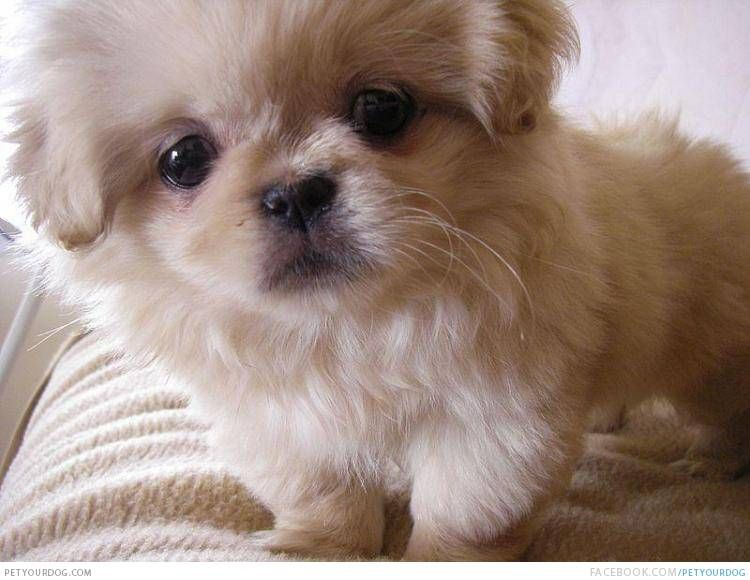 Petyourdog Com Pet Your Dog Adorable Tibetan Spaniel Pekingese Puppies Puppies Dog Breed Names
