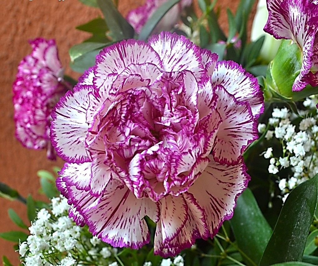 Clavel Rosa Flower Seeds Dianthus Caryophyllus Carnation Plants