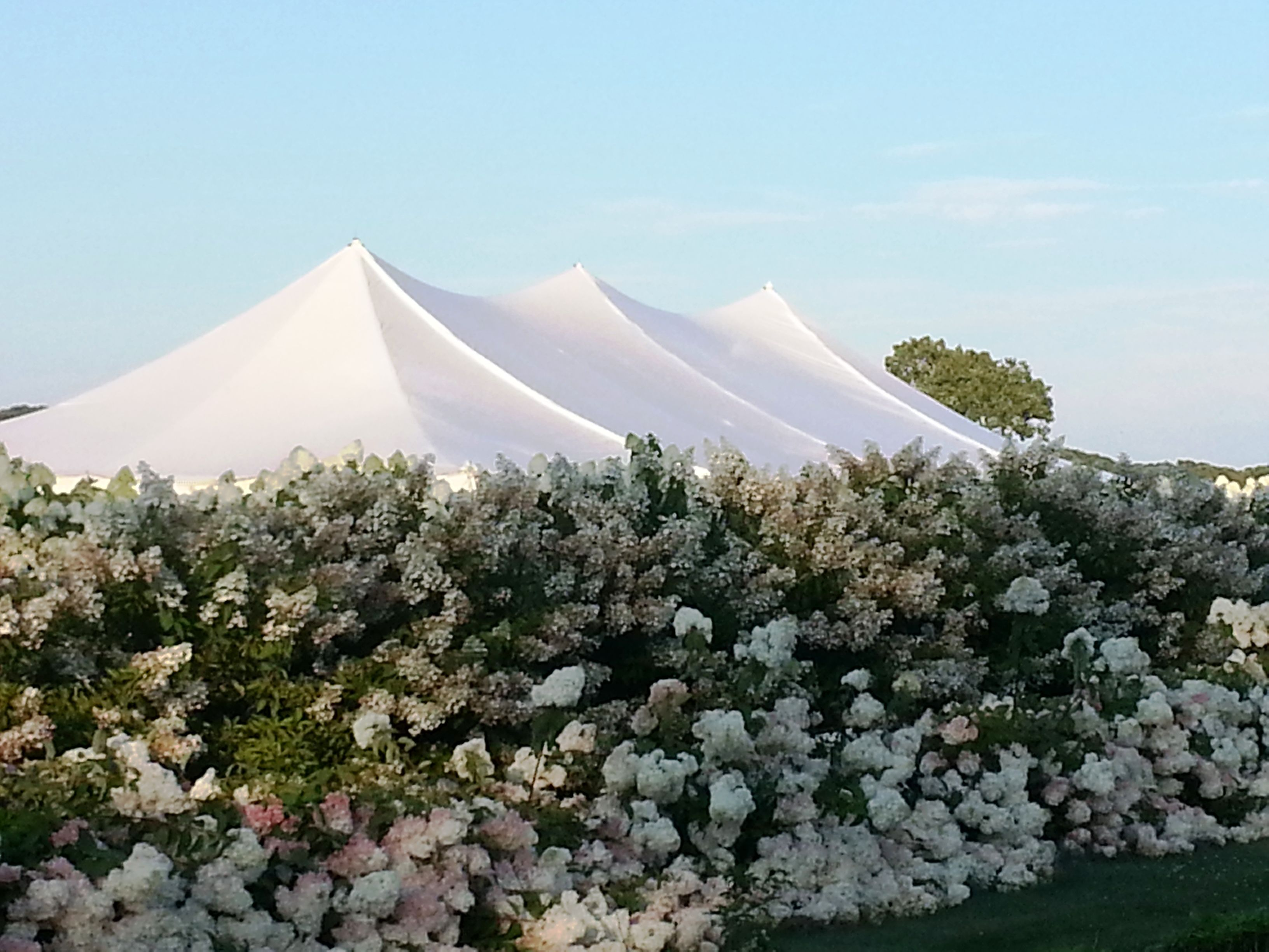 Wedding At Salt Air Farm On Long Island The 40 X 80 Tent Was Installed Along The Beautiful Hydrangea That Were Tent Wedding Backyard Wedding Wedding Rentals