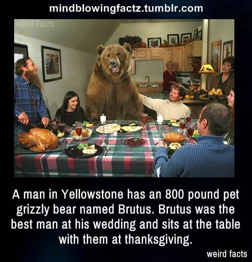A Man In Yellowstone Has An 800 Pound Pet Grizzly Bear