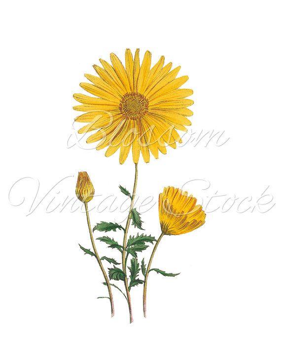 Yellow Daisy Flower Print Vintage Flower Print Botanical Etsy Botanical Art Vintage Flower Prints Vintage Flowers
