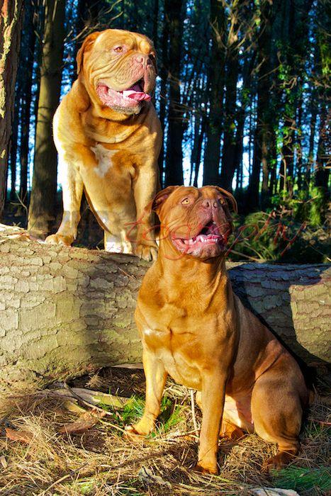 Photo Shoot In The Forest Nitro And Scout Dogue De Bordeaux French Mastiff Animals Dogue De Bordeaux