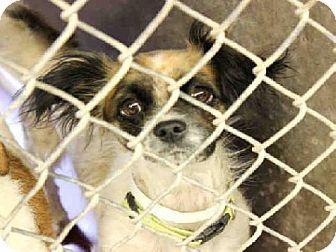 Mesa Az Papillon Mix Meet A3476787 A Dog For Adoption Http Www Adoptapet Com Pet 11067671 Mesa Arizona Papill With Images Dog Adoption Papillon Mix Kitten Adoption