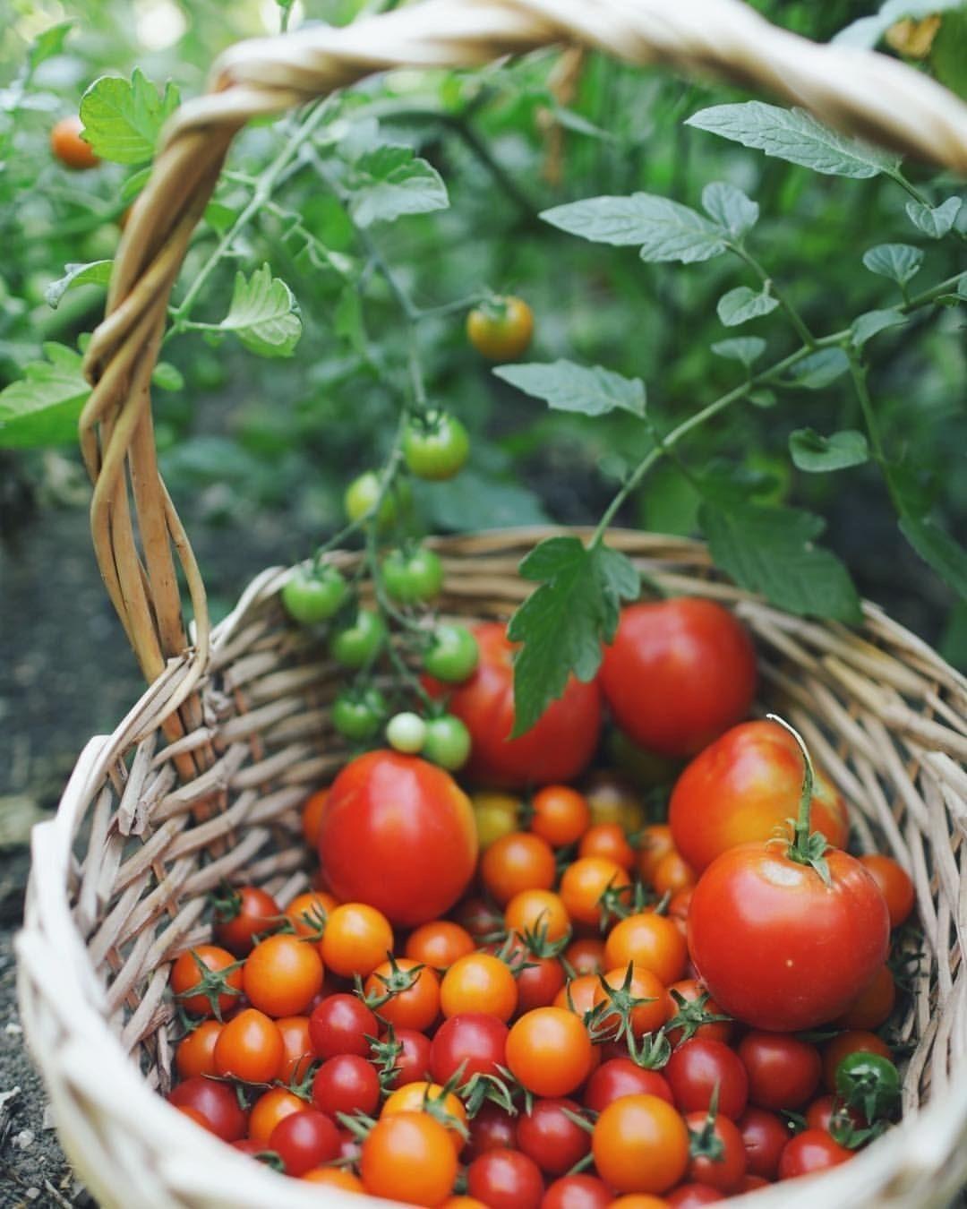Coltivare Piselli In Vaso pin di ♡ely♡ su country lane.. (con immagini)   verdure