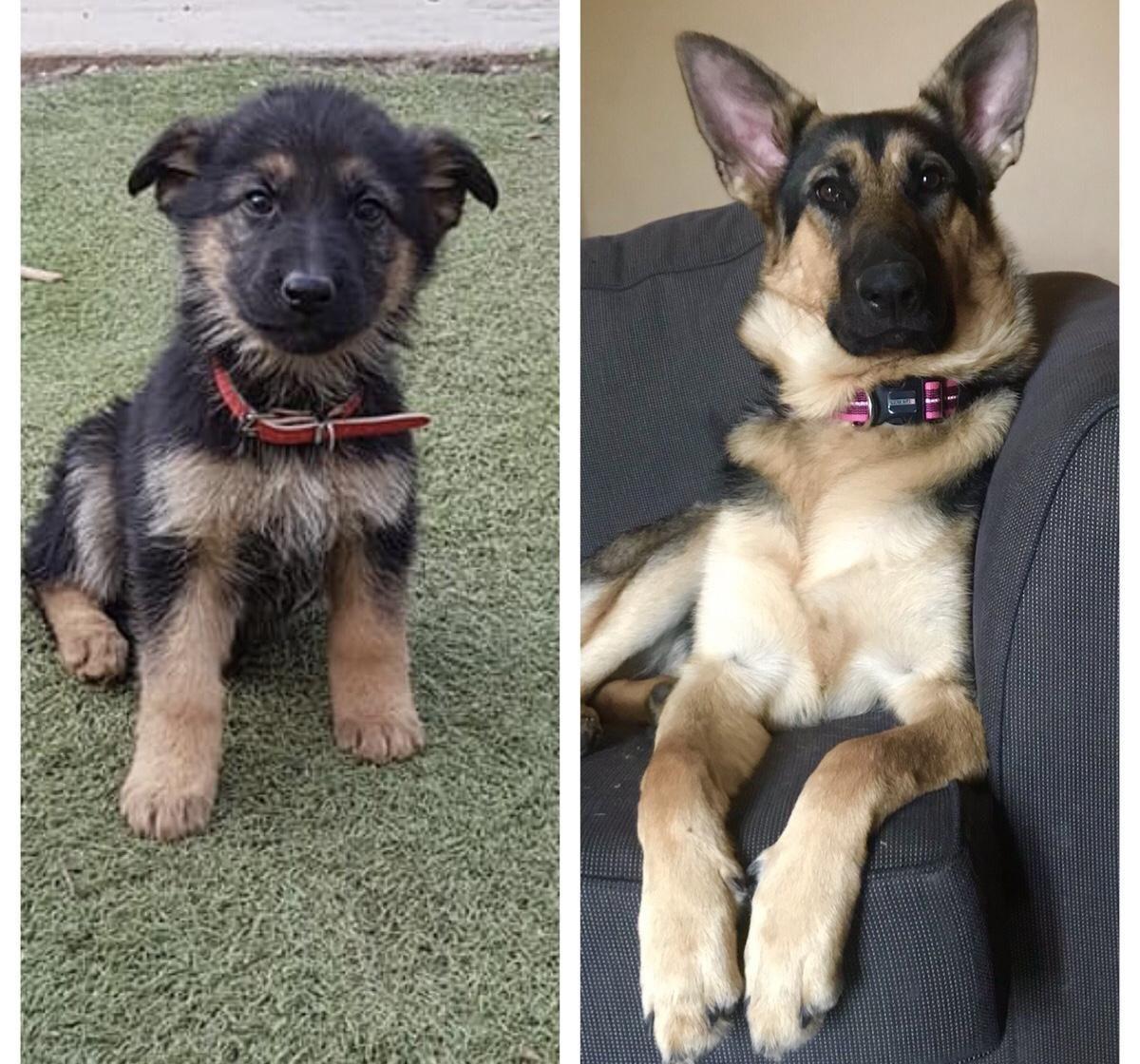 Delightful Black German Shepherd Quotes In 2020 Cute Dogs And Puppies Black German Shepherd Dogs
