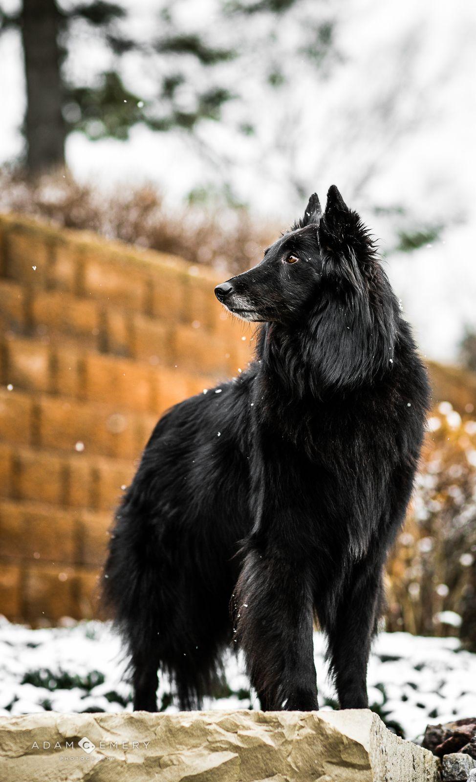350 Belgian sheepdogs ideas in 2021   belgian sheepdog, belgian shepherd,  sheepdog