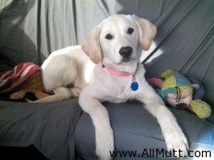 Labrador Retriever Golden Retriever Mix Retriever Mix Lab Mix