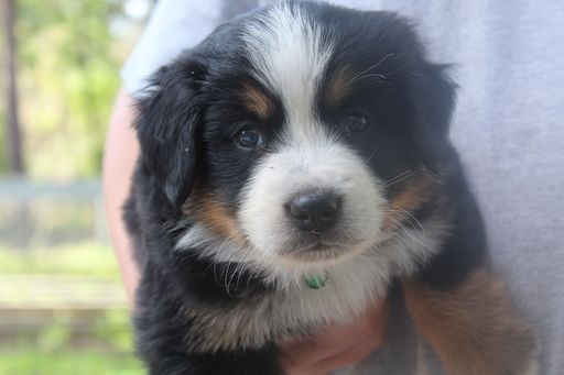 Litter Of 9 Bernese Mountain Dog Puppies For Sale In