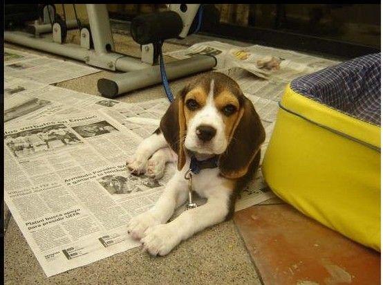 Training Day Beagle Dog Beagle Puppy Dog Pictures