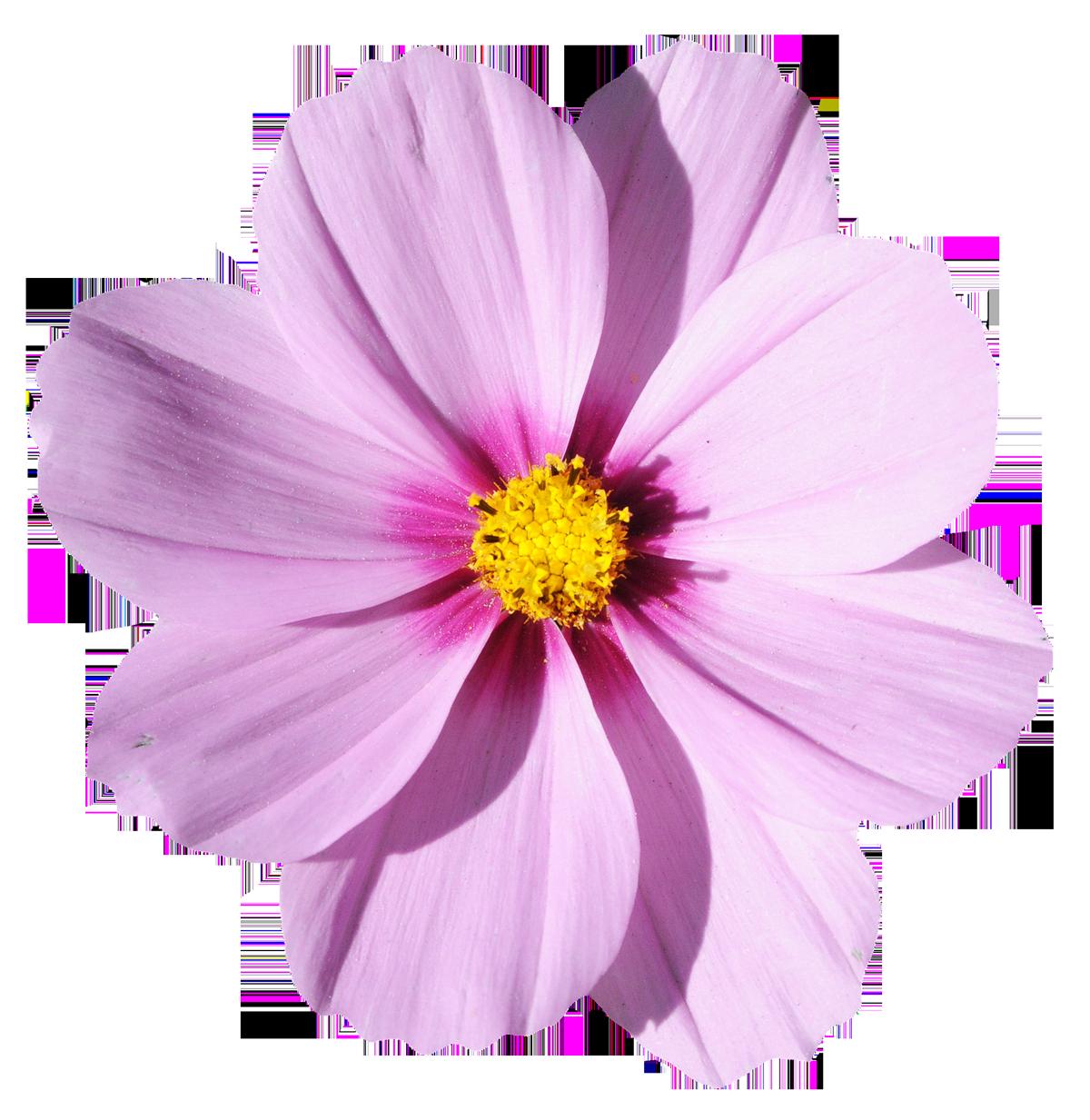 Blossom Flower Png Image Flower Png Images Transparent Flowers Blossom Flower